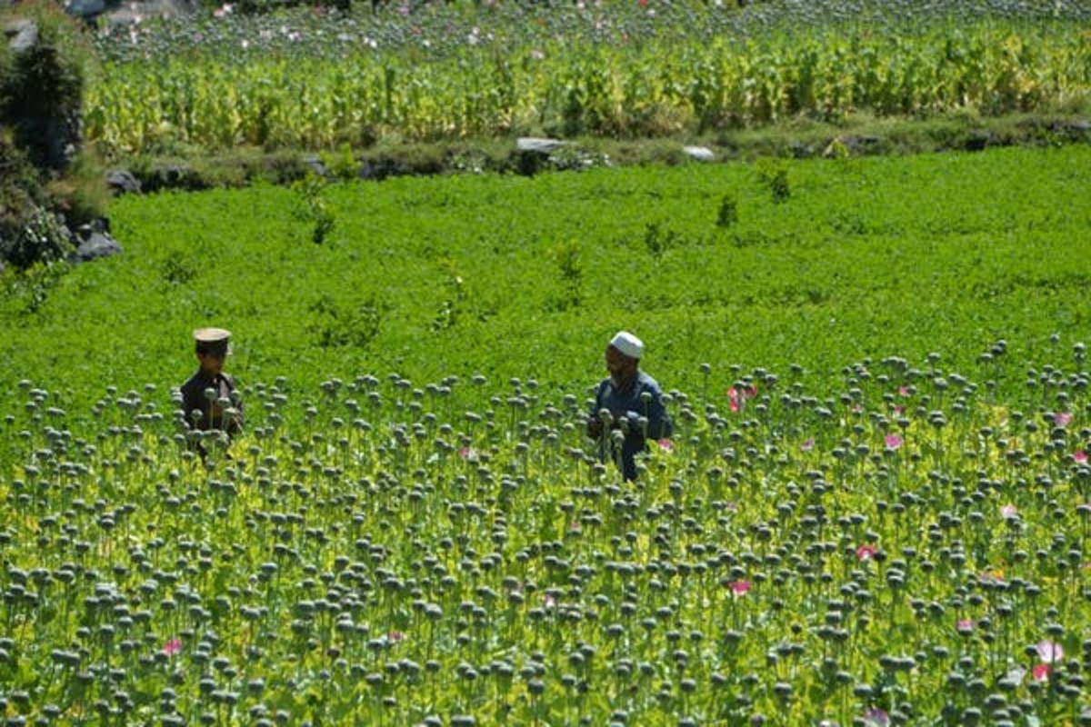 Afghan farmers harvest opium sap from a poppy field in the Darra-i-Nur District of Nangarhar province May 10. Noorullah Shirzada/AFP via Getty Images