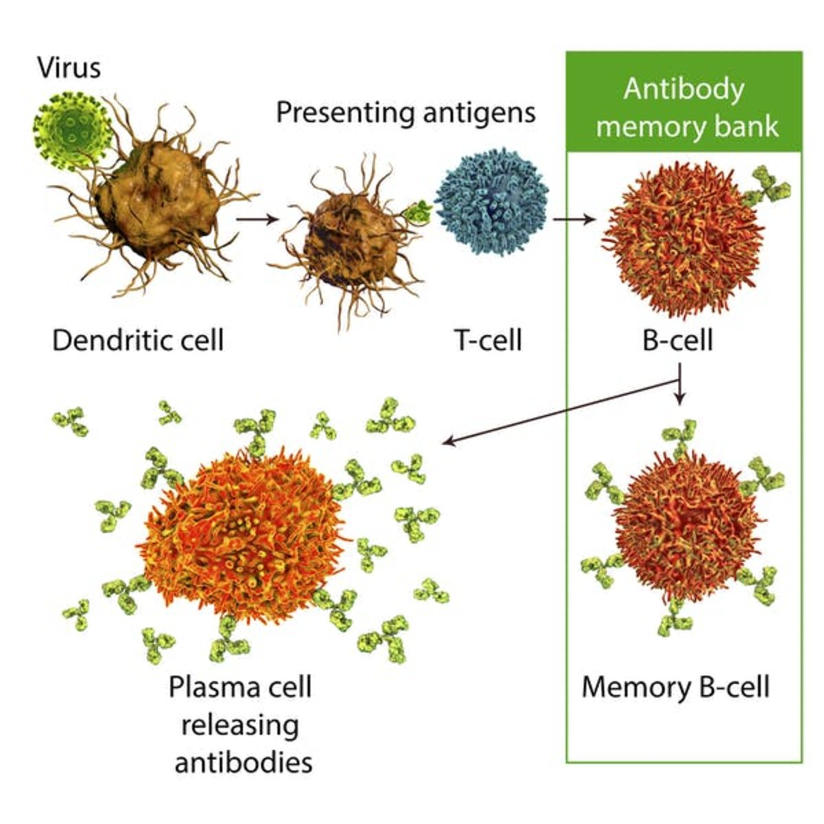 Dendritic cells recognize viruses and present information about the spike protein to T-cells. T-cells provide information about the viral spike protein to B-cells, which are transformed to memory B-cells that store information about the virus. When this memory B-cell is activated with an infection or the second dose of the vaccine, this causes some of the B-cells to change into plasma B-cells that secrete protective antibodies that fight the virus. Kateryna Kon/Science Photo Library via Getty Images
