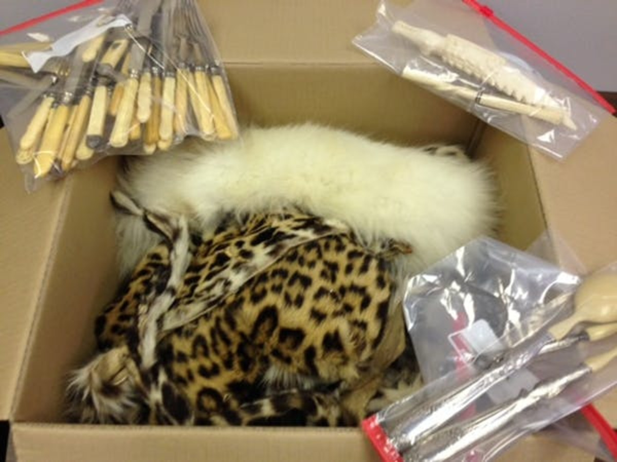 Smuggled leopard skin and ivory seized at New Orleans International Airport, Feb. 17, 2017. USFWS