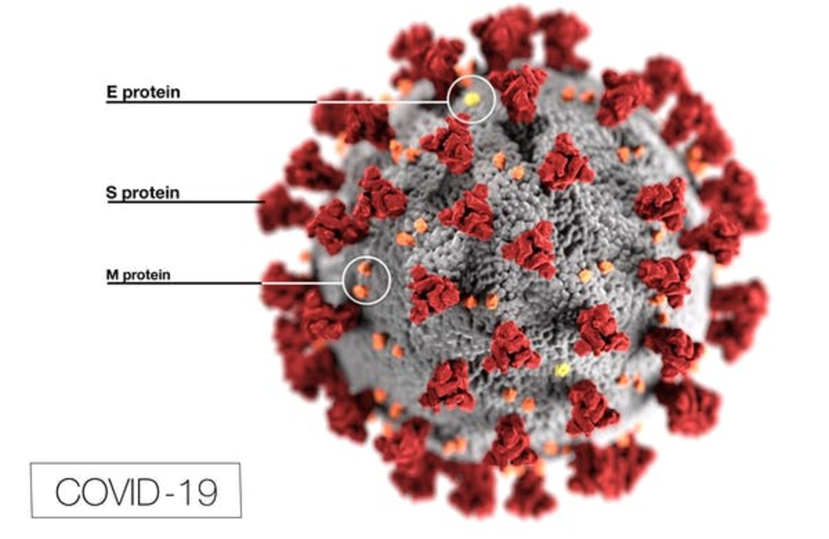 A novel coronavirus, named severe acute respiratory syndrome coronavirus 2 (SARS-CoV-2), is covered in spike proteins (S) that allow it to infect human cells. CDC/Alissa Eckert, MS; Dan Higgins, MAMS