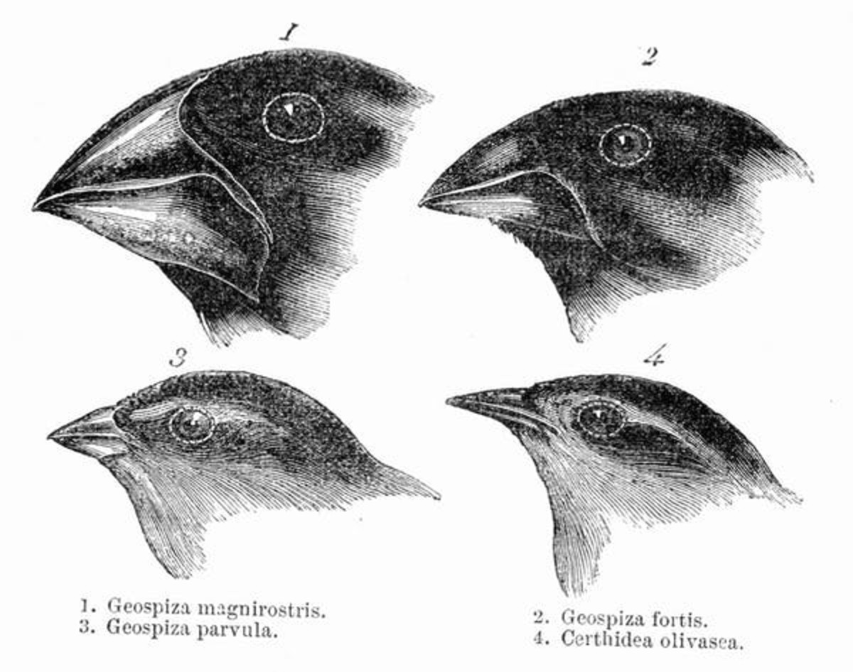 Darwin recognized that finches with beaks adapted to the specific food sources present on an island were more likely to survive and pass their genes to the next generation. Birds with the right beaks were defined as the fittest. Photos.com