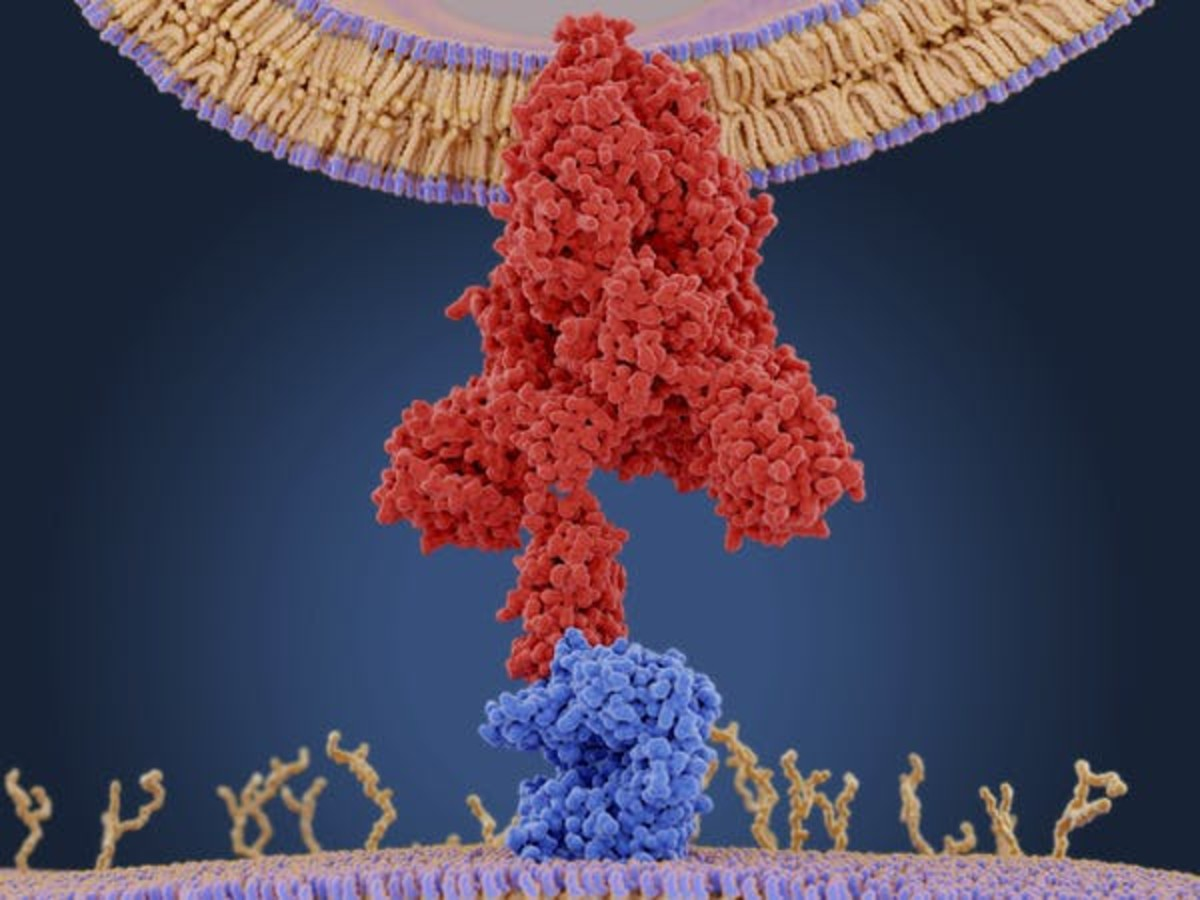 Molecular model of a coronavirus spike (S) protein (red) bound to an angiotensin-converting enzyme 2 (ACE2) receptor (blue) on a human cell. Once inside the cell, the virus uses the cells' machinery to make more copies of itself. JUAN GAERTNER/SCIENCE PHOTO LIBRARY